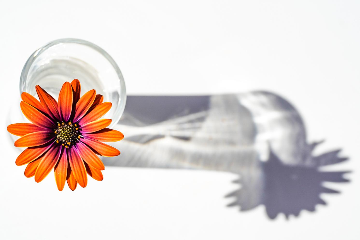 flor naranja con su sombra